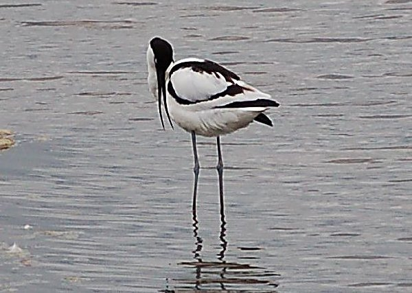 Avocet (Southport Show,2008)